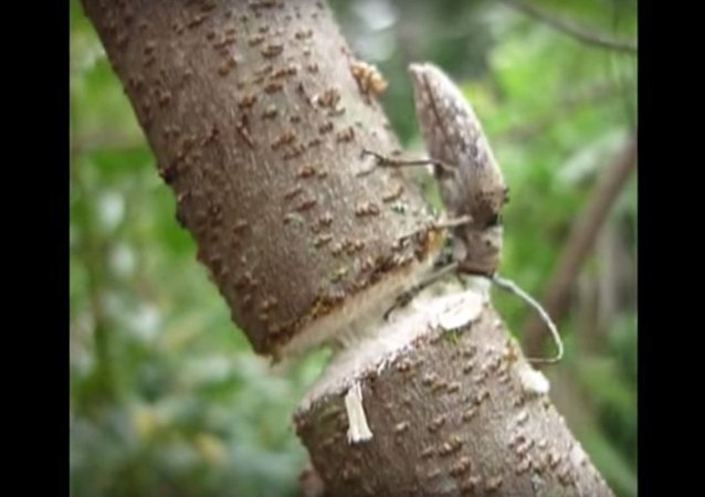 Beetle Chews Through Branch || ViralHog