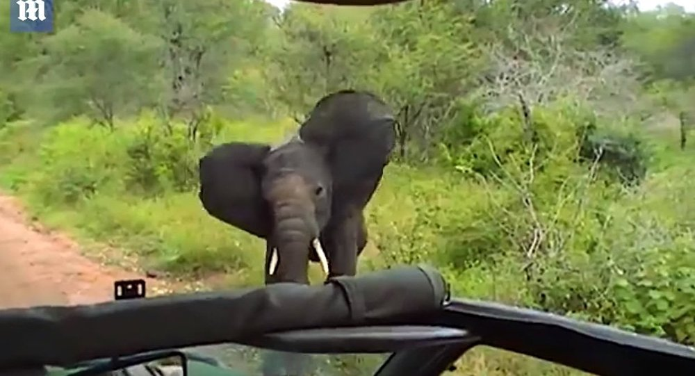 Reverse the charge! Young elephant thinks better of ramming car - Daily Mail