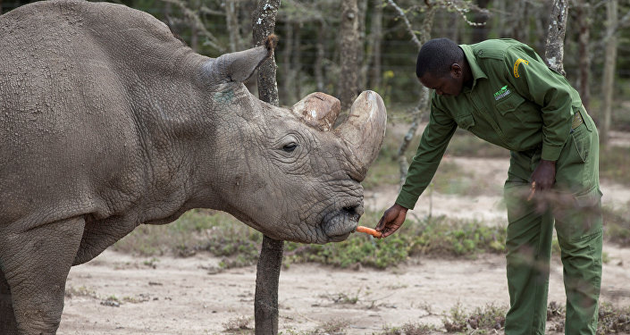 Sudan, the last surviving male northern white rhino, is fed by a warden at the Ol Pejeta Conservancy in Laikipia national park, Kenya May 3, 2017
