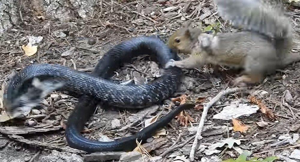 Rat Snake Versus Mother Squirrel