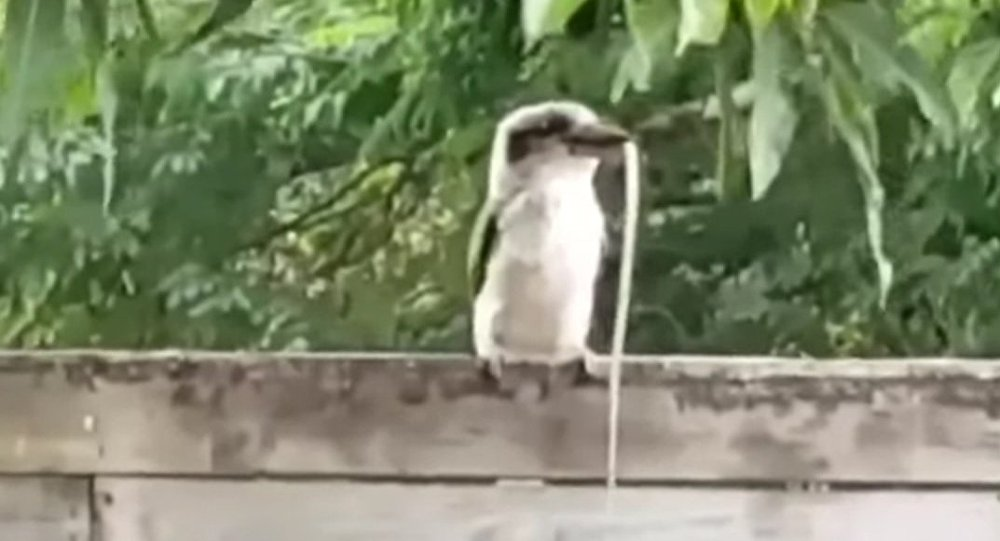 Snake Gets Eaten by Kookaburra in Backyard Feed