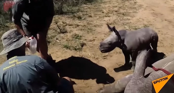 South Africa: Baby Rhino Attacks Vets as They Treat Mother's Toe