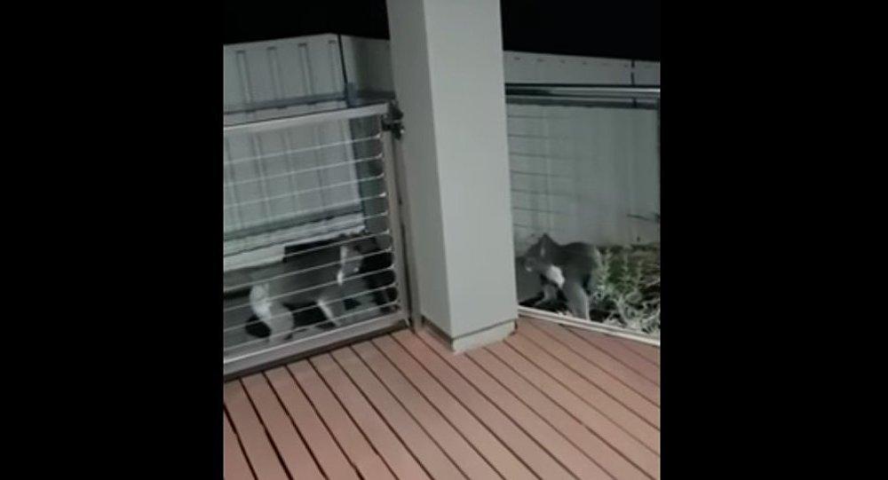 Koalas go toe to toe in Adelaide, Australia.