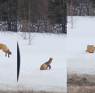 Canadian Red Fox Dives Headfirst in Hunt