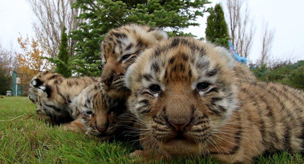 Newborn Siberian tiger cubs  (File)