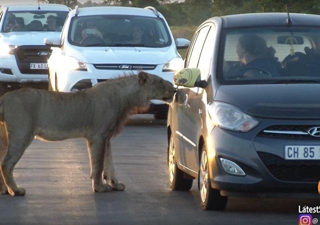 Lion Versus Car's Door!