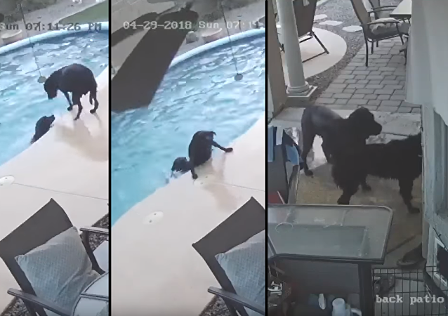 Lifeguard Retriever: Black Lab Hops in Pool to Save Struggling Bud