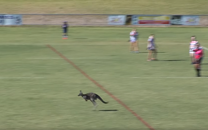 Can 'Roo Play Too? Joey Takes Detour Through Rugby Match