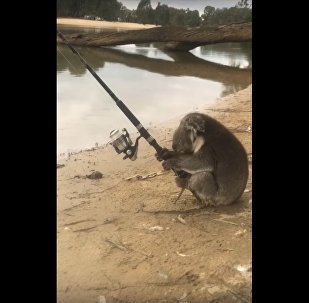 Koala Goes Fishing