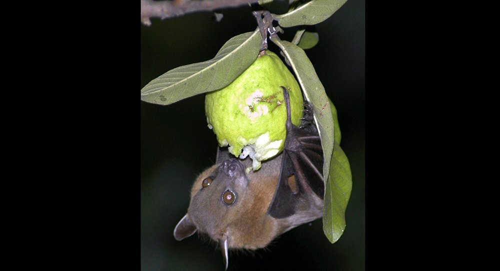 A bat feeds on a guava fruit in Siliguri, India.