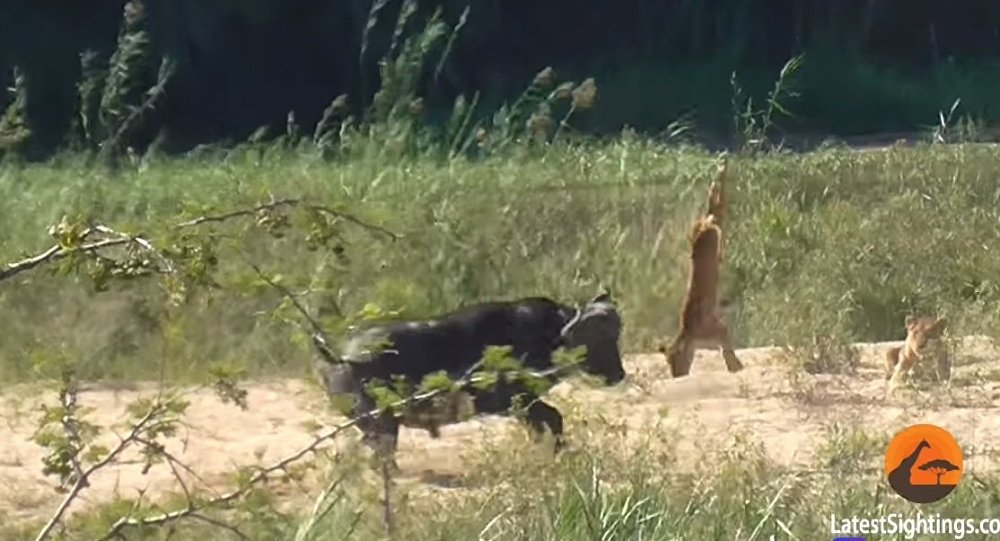 Buffalo Launches Lion into Air to Save Lizard