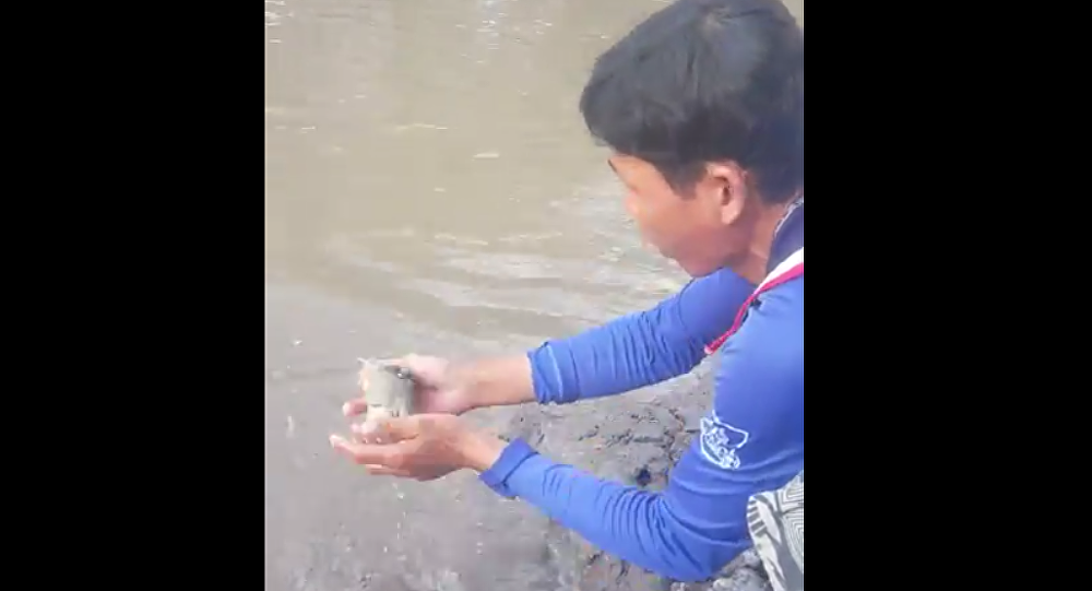 Mudfish Jumps Out Of The Water to Be Fed in Vietnam, 2018