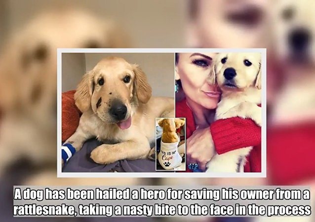 Heroic dog is bit in the face by rattlesnake while protecting owner