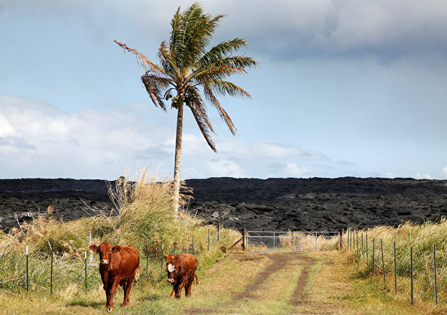 Cows stand in a road in an evacuated community on the outskirts of Pahoa during ongoing eruptions of the Kilauea Volcano in Hawaii, U.S., June 6, 2018
