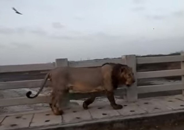 Lion Found Walking on Bridge in India