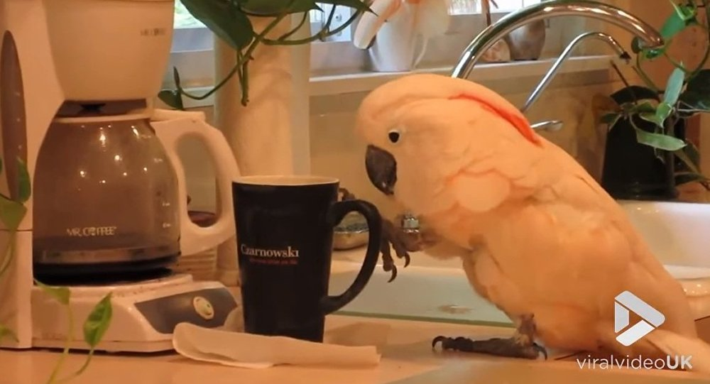 Cockatoo wants her Coffee || Viral Video UK