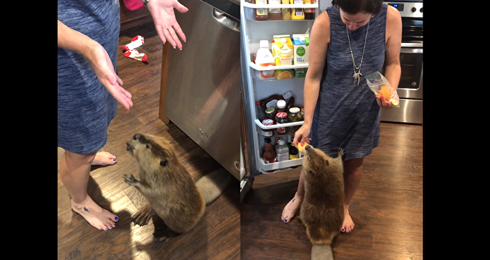 Ain't Too Proud to Beg: Beaver Solicits a Slice of Sweet Potato