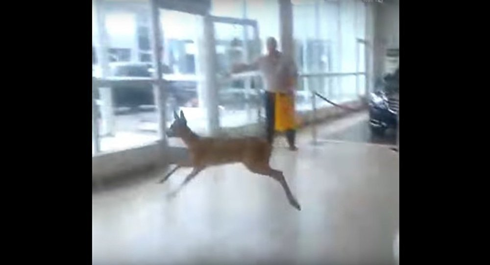 Baby Deer Causes Stir At One Of Moscow's Car Dealerships