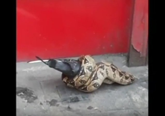 Snake was eating pigeon in London street
