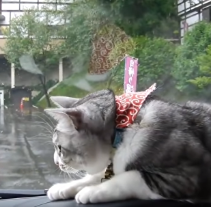 Rats! Fluffy Feline Bamboozled by Windshield Wipers