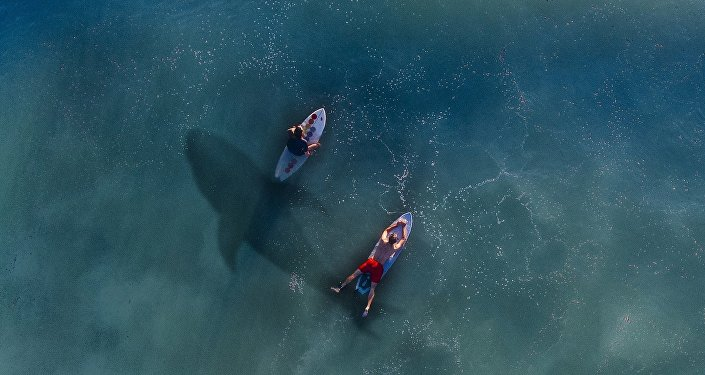 Surfers and shark