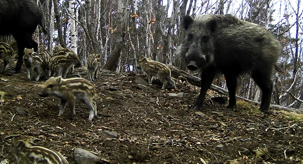 Wild Pigs in the Leopard Land National Park in Russia. 2018