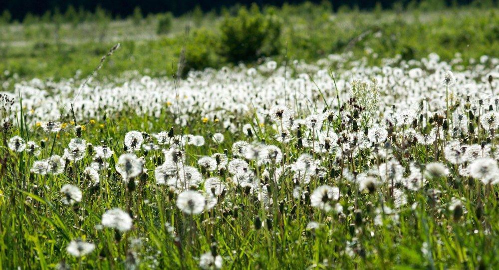Field of dandelions