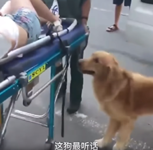 Golden Retriever Refuses to Leave Ailing Owner's Side