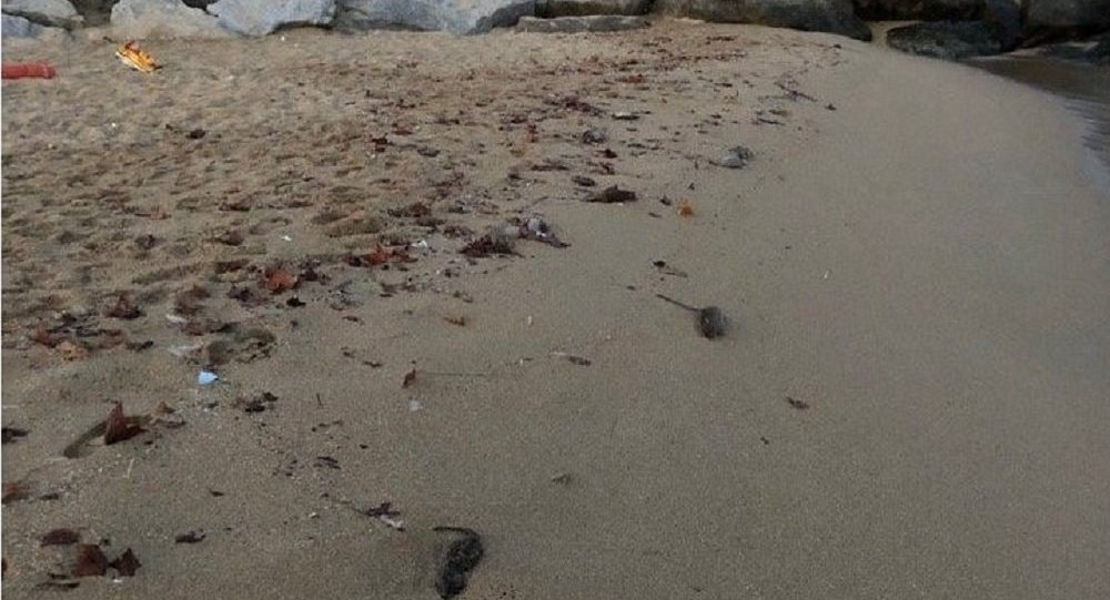 Dead rats are seen on a Barcelona beach