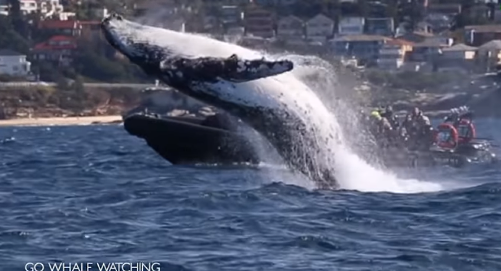 Shocking Massive Whale Gracefully Jumps Out of Ocean in Australia