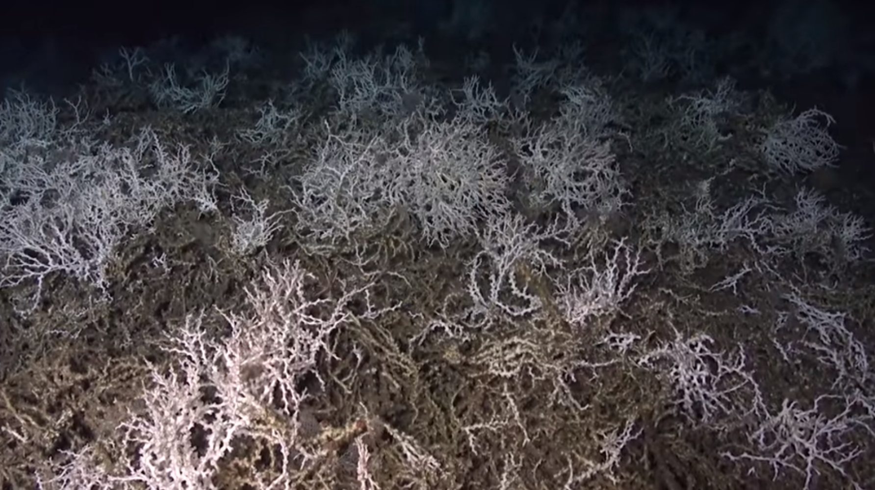 Team of researchers discover 85-mile stretch of cold water coral reef off the coast of South Carolina