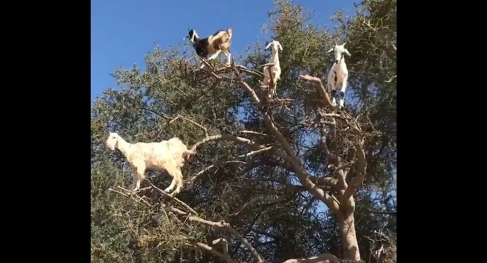 A bunch of goats on top of a tree