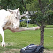 Startled Albino Moose Strikes Robotic Lawn Mower