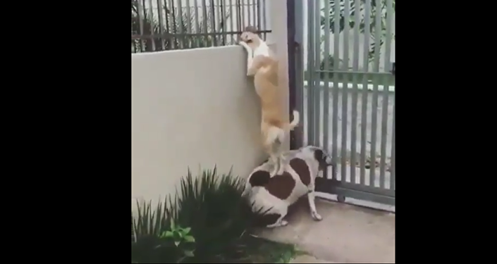 Dogs Near the Fence.