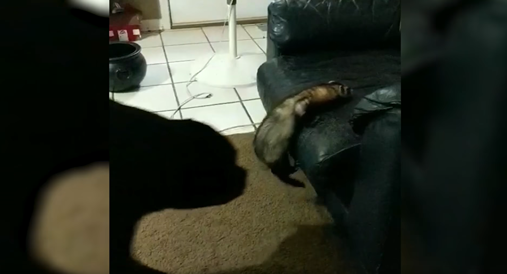 Pooch Gives Flailing Ferret a Boost