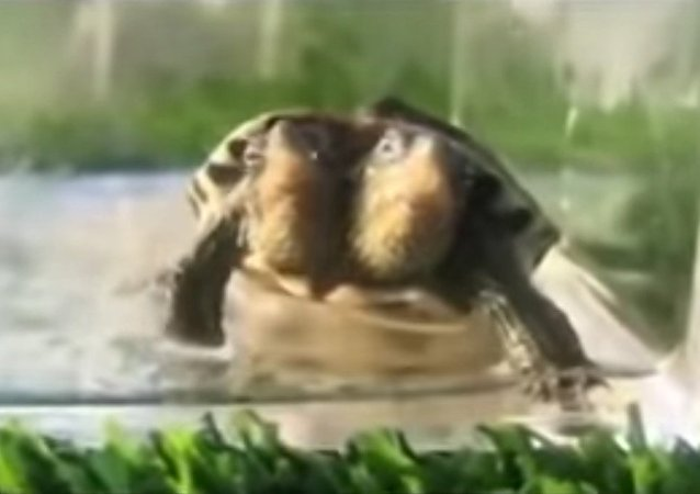 Mutant turtle born with TWO heads but can't be released into wild in case it passes