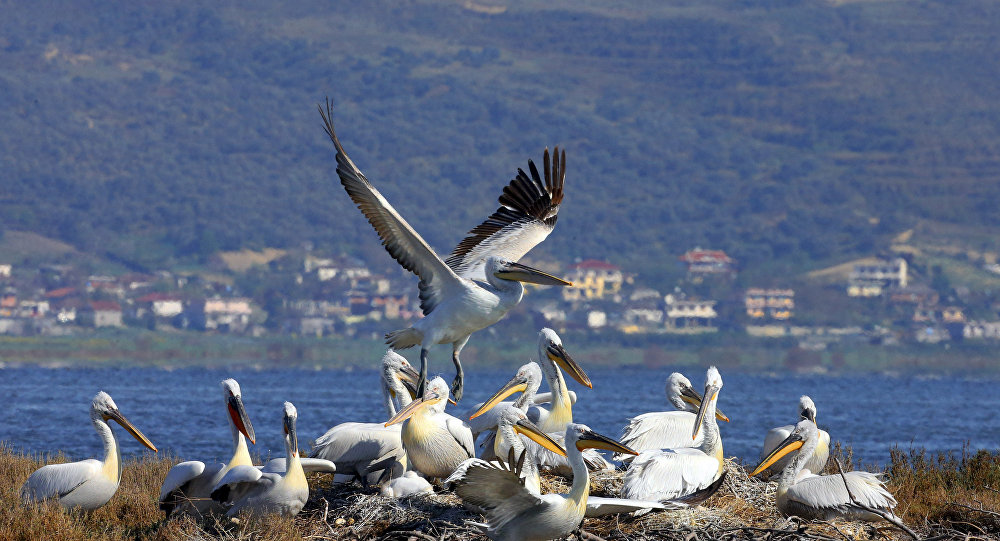 This colony of Dalmatian penguins in the Karavasta National Park in Albania could be threatened by the proposed resort