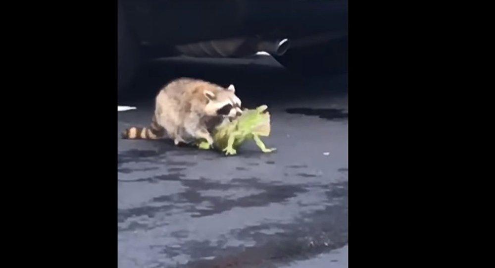 Racoon vs Iguana