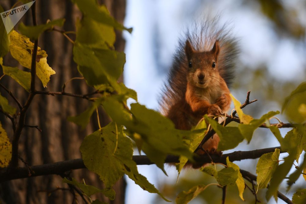 Squirrel in Moscow's Park