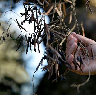 A farmer checks an olive tree for xylella fastidiosa in a grove near Lecce in Puglia, Italy