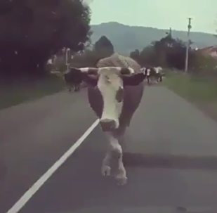 Cow Shows Its Swaggest Strut Walk