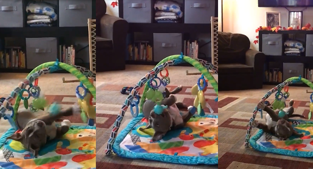 Killer Cuteness: Pit Bull Pup's Playtime Is Ferociously Adorable