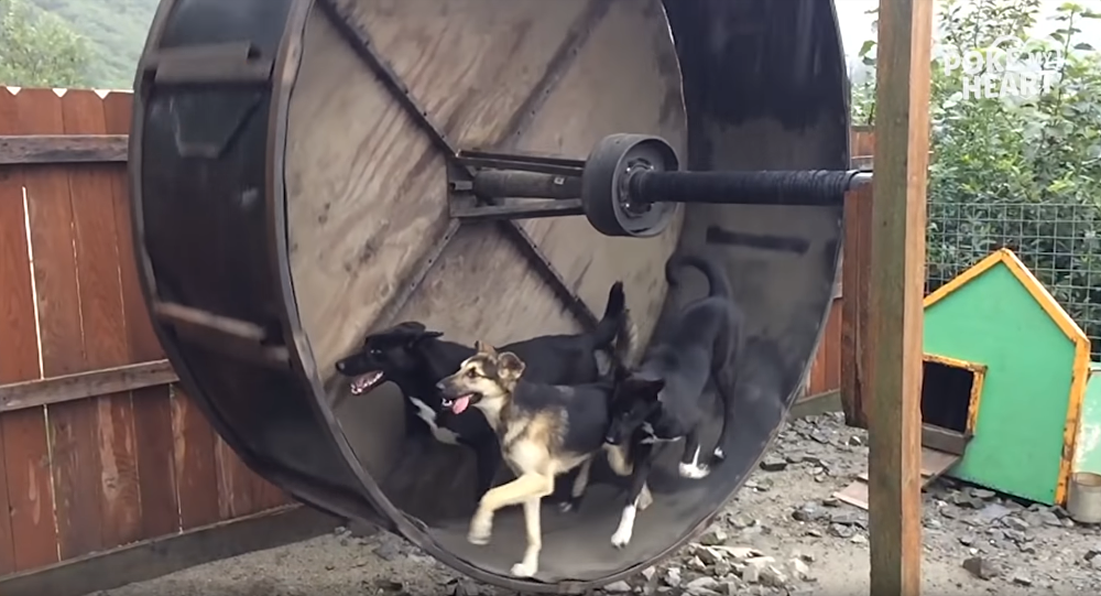 Hound or Hamster? Trio of Pooches Play Inside Hamster Wheel