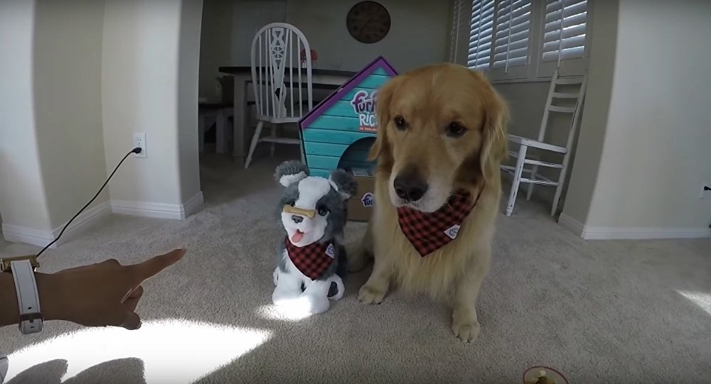Golden Retriever VS Husky Puppy Ricky Challenge #2 | Oshies World