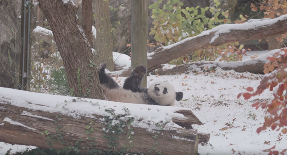 Young Giant Panda Makes Most of Snowfall at Smithsonian National Zoo