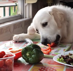 Dog Cooks Steak and Salad For Dinner | Funny Dog Bailey
