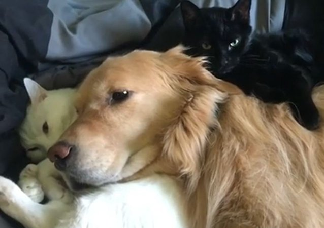 Retrievers With Cats