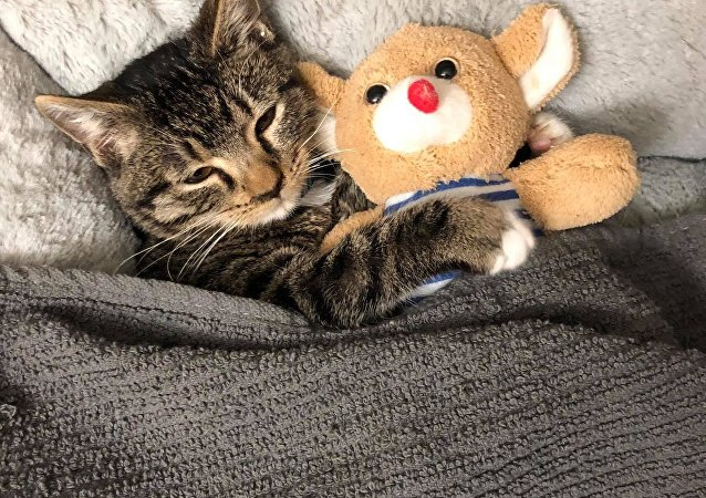 Kitten's Bedtime Ritual Not Complete Without His Favorite Plushie