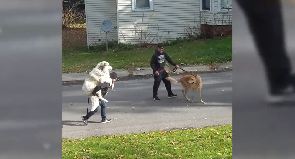 Toting Mr. Lazy: Pooch Turns Human Into Noble Steed