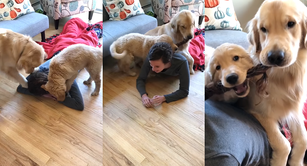 Golden Retrievers Assume Owner's Braid Is Tug Toy